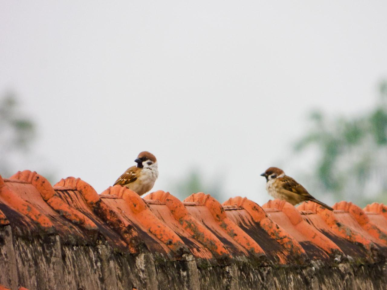 bisa juga motret burung, di tas genteng :))