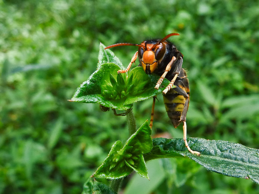 Lebah. Mode macro pada posisi tele GH800