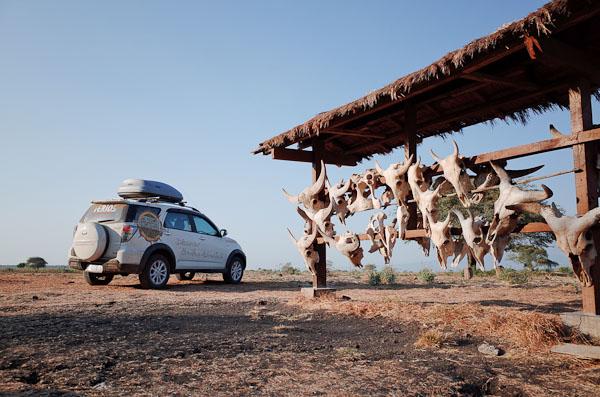 Disambut tengkorak banteng-banteng liar baluran