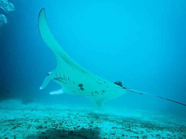 The Manta Ray, lebar sayap sekitar 2-3 meter