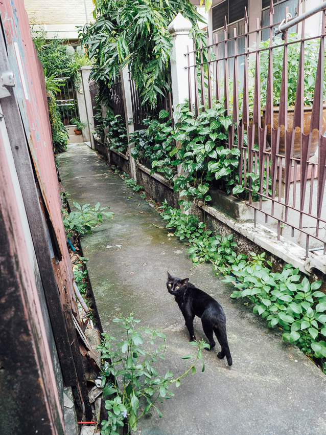 cat-of-thailand-13