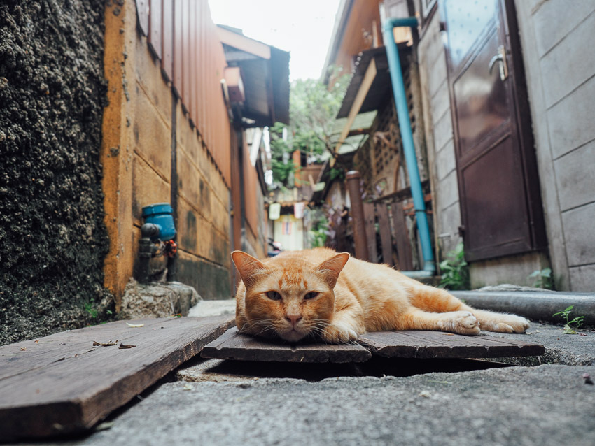 cat-of-thailand-14