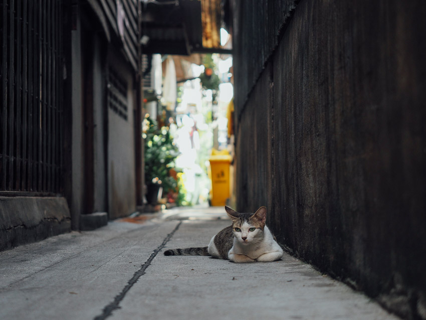 cat-of-thailand-15