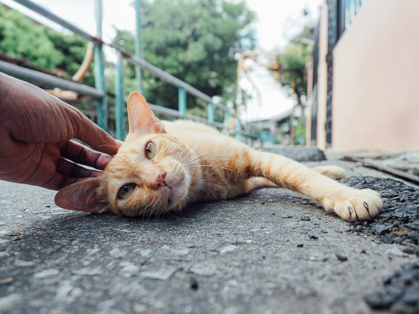 cat-of-thailand-4