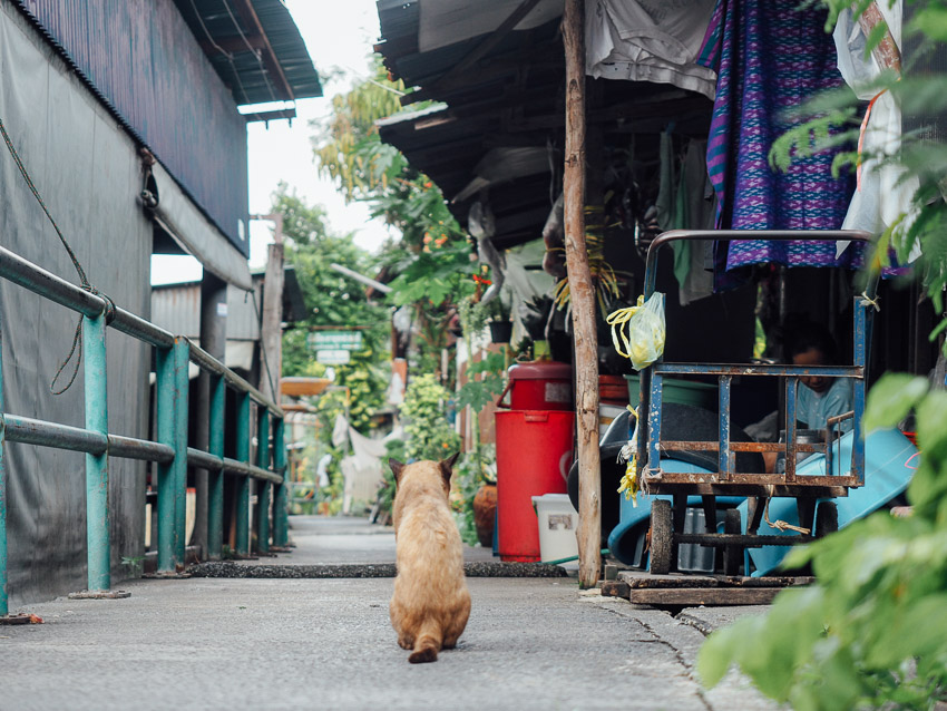 cat-of-thailand-6