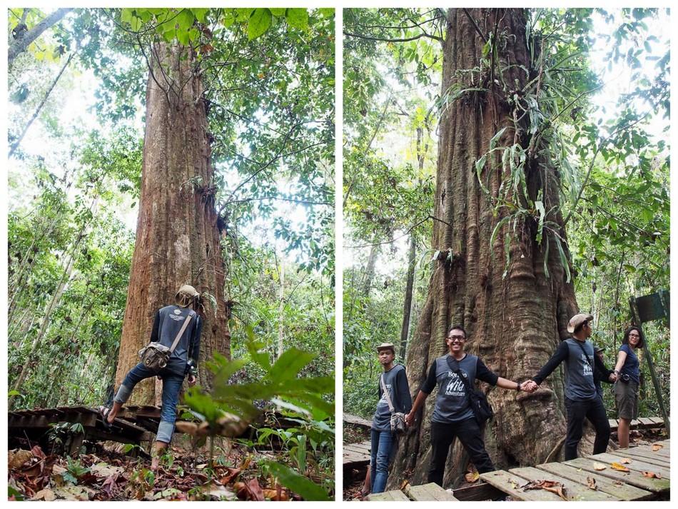 Ulin raksasa di Taman Nasional Kutai