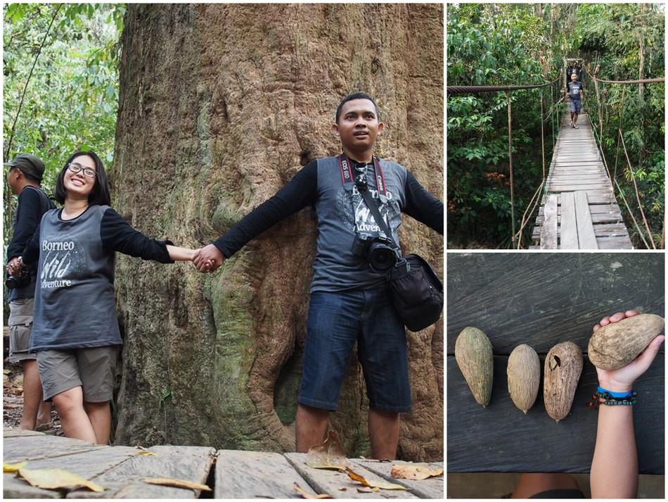 kayu-ulin-raksasa-taman-nasional-kutai-kalimantan3